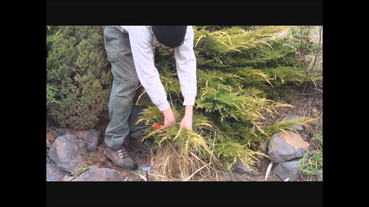Tip Pruning a Juniper - YouTube