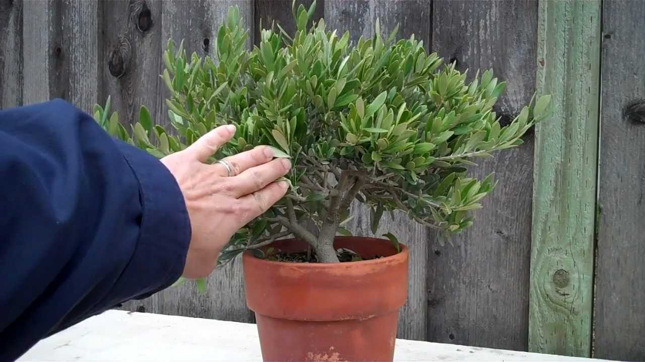 how to create an olive tree bonsai part 1 initial shaping