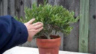 How to create an Olive tree Bonsai Part 1 initial shaping.mp4(This is my video log, part 1 of a 3 part series about how to create an Olive Bonsai from a nursery material (Dwarf Olive tree topiary). It is kind of a good session for ..., 2012-03-13T09:23:28.000Z)