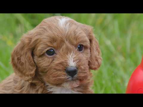 TOY CAVOODLE AVAILABLE SOON!!!