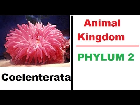Coelenterata - Phylem 2 (Animal Kingdom) Biology for UPSC , PSC , State , SSC , Exams