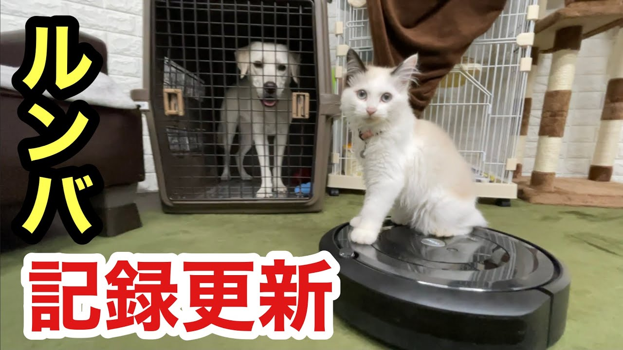 ついにルンバの記録更新した子猫と羨望の眼差しの犬