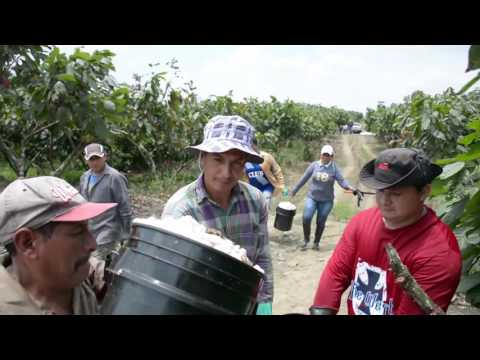 Transmar Large Scale Plantations Cacao