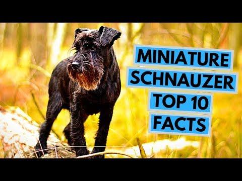 Miniature Schnauzer - TOP 10 Interesting Facts