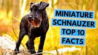 Miniature Schnauzer  TOP 10 Interesting Facts