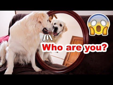What Does My Dog Do When He Sees Himself in a Mirror?
