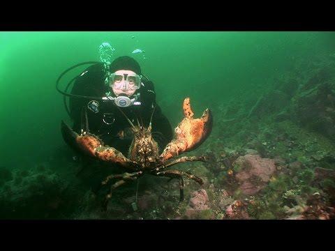 Northern Lobsters of Maine | JONATHAN BIRD'S BLUE WORLD thumbnail