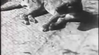 Последняя съёмка сумчатого волка (тилацина).mp4