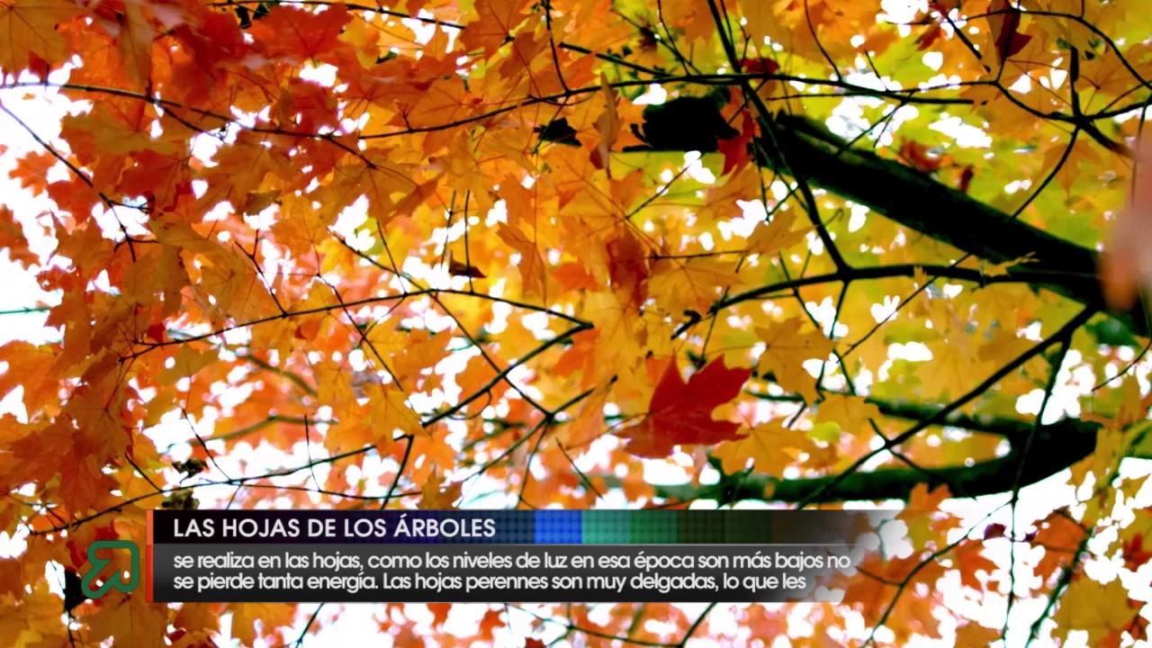 Hojas de rboles youtube for Arboles de hoja caduca