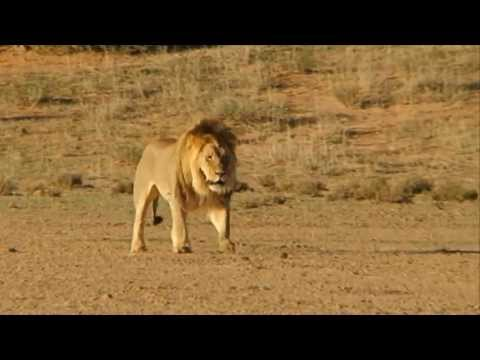 Free Stock Footage Male Lion Walking on a Dusty Plain - Africa Travel Channel in HD