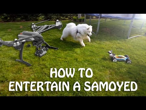 How to entertain a samoyed