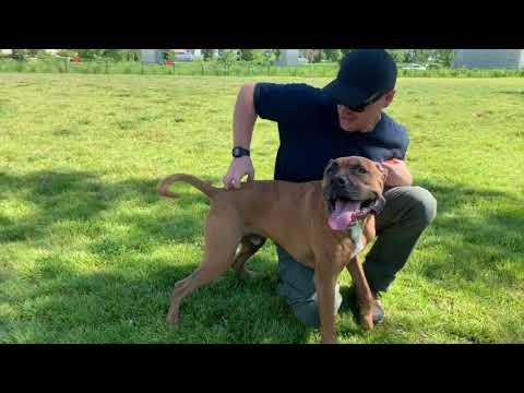 Best Dog Training Toledo, Ohio! 6 Year Old Pit/Boxer Mix Copper!