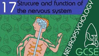 The nervous system - Neuropsychology, GCSE Psychology [AQA]