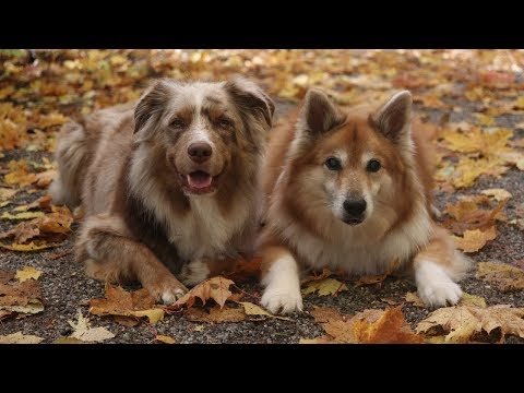 Dogs in Autumn 2018 - slow motion | Australian Shepherd & Icelandic Sheepdog