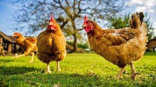 Download Mp3 Ayam Kukuruyuk 🌟 Lagu Anak Ceria