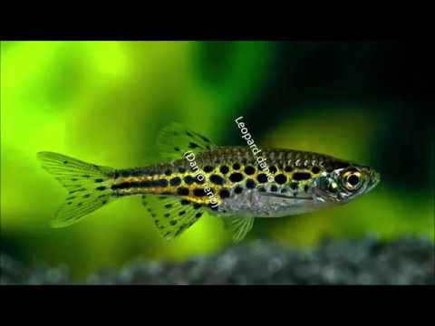 Fish Profile - Leopard Danio