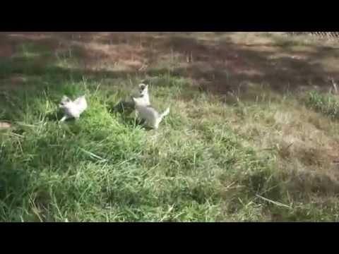 Alaskan Klee Kias Playing - Husky Palace