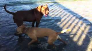XXL レッドノーズと 闘犬ピットブル 川で激しく遊びました☆ デカいピ...