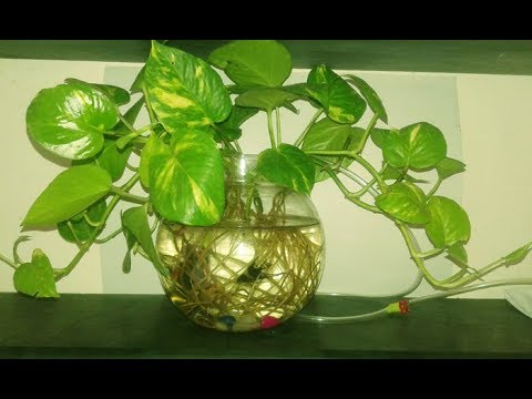 How To Grow Money Plant In Fish Bowl - How To Grow Money Plant In Water ..