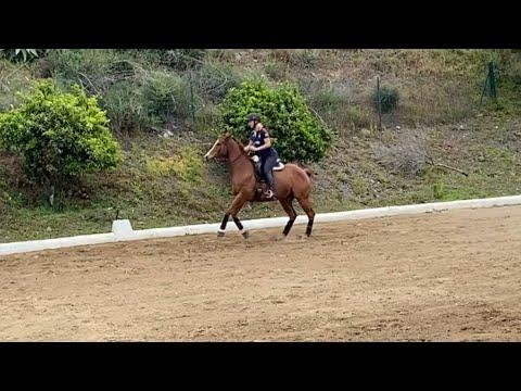 Polo pony horse