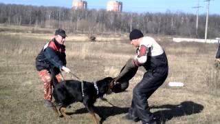 Тренировка по защите с ротвейлером и немецкими овчарками.