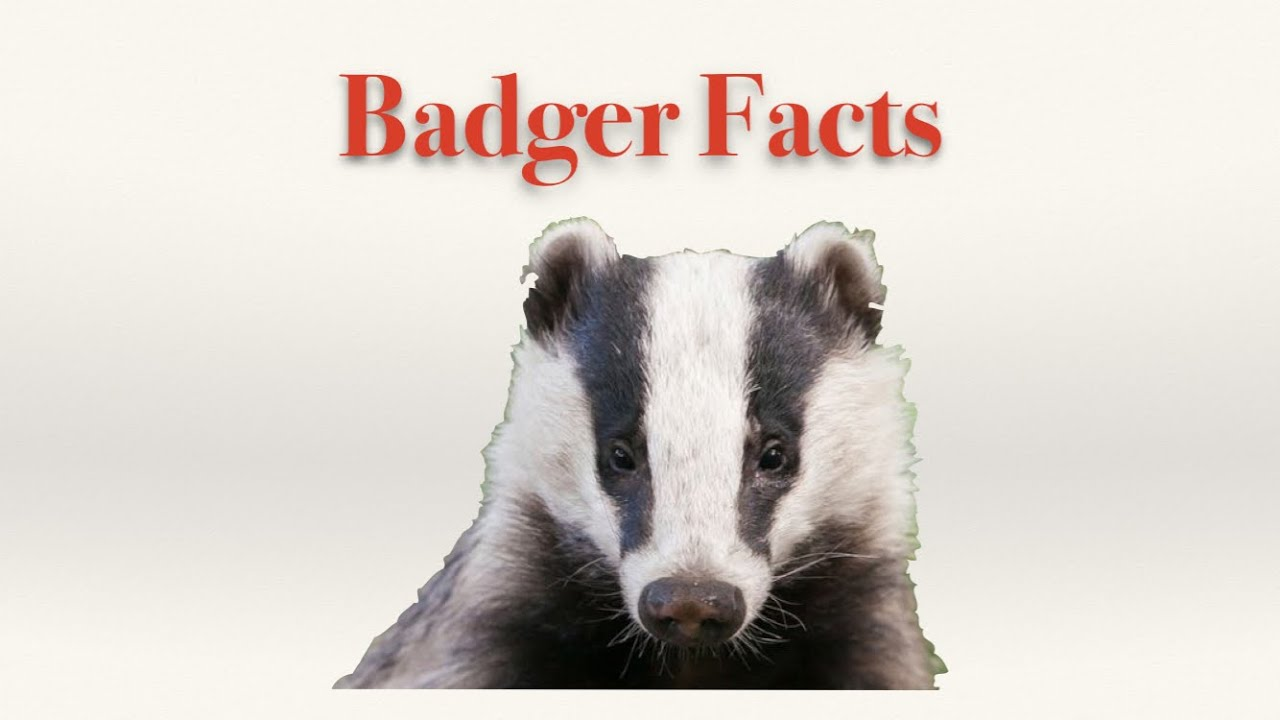 Badger Facts - YouTube