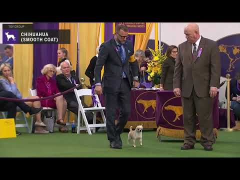 Chihuahuas (Smooth Coat) | Breed Judging 2020