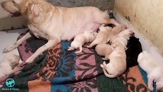 Labrador dog puppies day 10