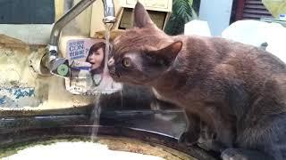 Смешное видео кот очень сильно хочет пить/ Funny video cat very much wants to drink