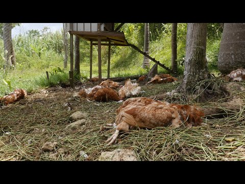 Reportaje: Masacre De 21 Aves De Corral En El Barrio Hoyamala De San Sebastián