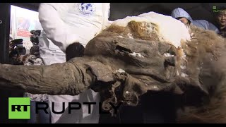 Russia: Yuka the 40,000-year-old mammoth arrives in Moscow