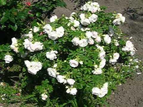 Цветы. Розы. Парковая роза.