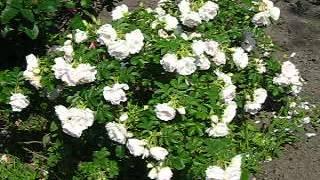 видео Роза Les Quatre Saisons