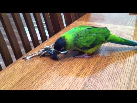 Nanday Conure parrot (Ziggy)