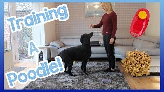 How to Train a Poodle (Or Any Other Dog Breed!) | Helpful Top Tips on How to Easily Train Your Dog!