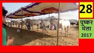 मारवाड़ी घोडा कीमत 5 - 25 Lakh Cost Marwari Stallion ::तिल्वाडा : बाड़मेर :राजस्थान by SANJEEV ...