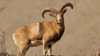 Urial is disappearing from Pakistan