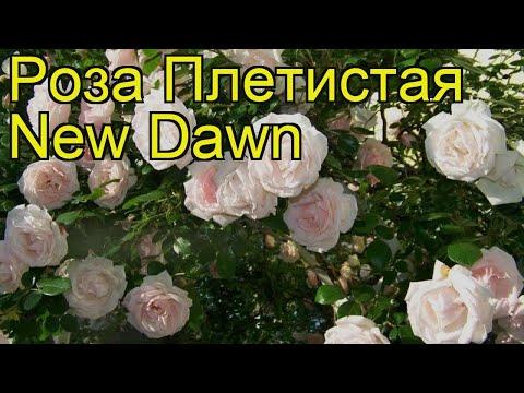 Роза плетистая Нью Даун (New Dawn). Краткий обзор, описание характеристик, где купить саженцы