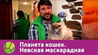 Невская маскарадная. Планета кошек | Живая Планета