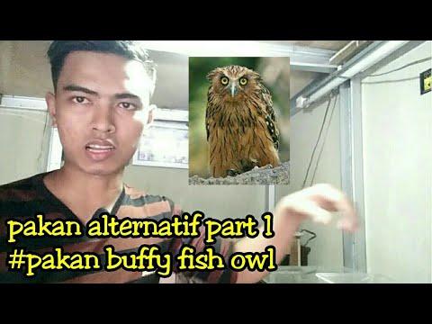 Pakan Alternatif Part 1 #pakan Buffy Fish Owl
