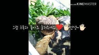 레오파드 육지거북/소개영상/육지거북/루나's vlog