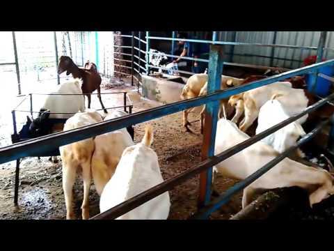Sisal Goat Farm Sangali Palus
