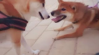 Mila & Suki finally meet! Shiba Inu puppies
