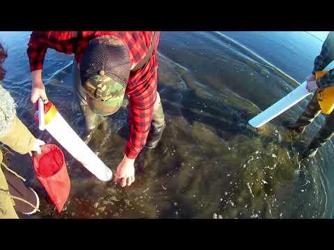 Razor Clam Digging Ocean Shores, WA. Pacific Ocean