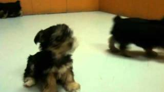 Yorkshire Terrier ,Puppies, For, Sale, In, Los Angeles, California, CA, Visalia, Thousand Oaks