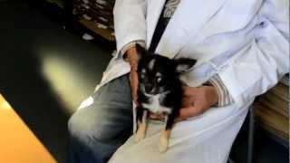 チワワとパピオンのハーフ犬エンジェルちゃん❤ 先日、3回目のワクチンも...