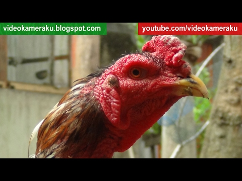 1 Hour Rooster Crowing - Chickens Mating - Live Recording February 7 2017