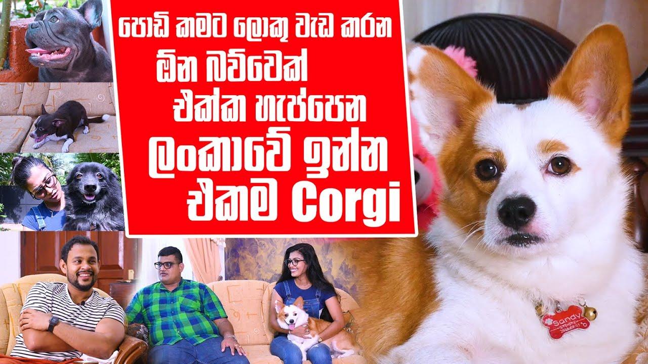 පොඩි කමට ලොකු වැඩ කරන ඕන බව්වෙක් එක්ක හැප්පෙන ලංකාවේ ඉන්න එකම Corgi | Pet Talk