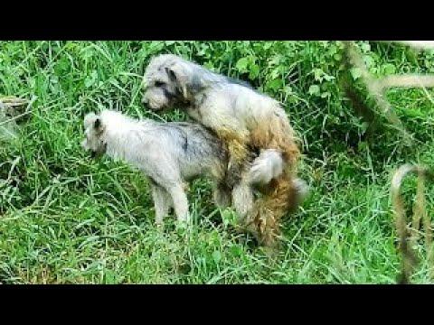 Cambo Rural Dogs!! Spinone Italiano vs Female Spinone Italiano Cheav Village