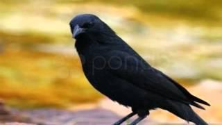 O canto do Pássaro Preto - do Merro e do pássaro que encanta o Brasil